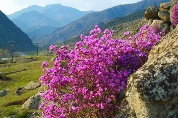 Отель Алтай весенний. Цветение маральника, 5 дней